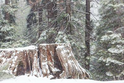 Sequoia forest in winter season