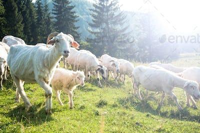 Traditional sheep pasture in Polish Pieniny mountains range