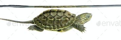 Turtle - OCADIA SINENSIS