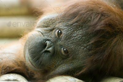 Orang-utan lying down