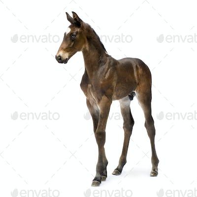 Foal (12 days)
