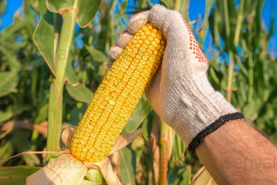 Farmer hand picking ripe corn on the cob