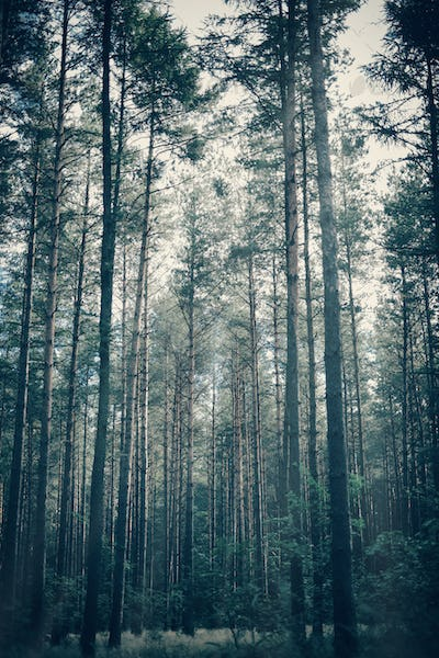 Foggy, moody forest with tall trees.