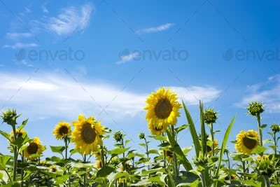 Blossoming sunflower flower on the farm field. The charming landscape of sunflowers against the sky.