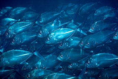 Flock of fish under water