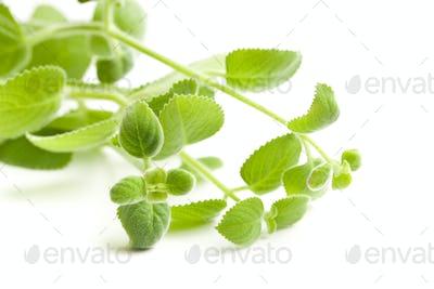 Plectranthus argentatus. Silver spurflower.