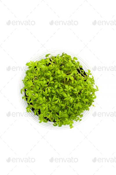 Cress salad in a pot close-up on a clean white background.