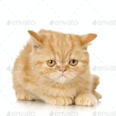 Ginger persian Cat kitten