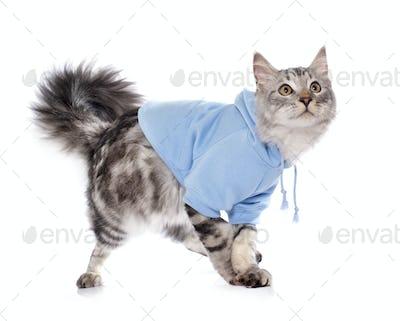 dressed maine coon cat