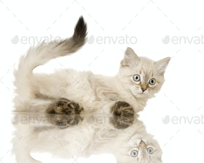 Blu-tabby-point Birman kitten