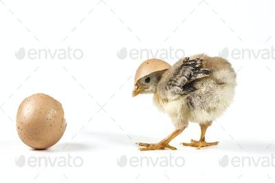 Broken Egg On Chicken
