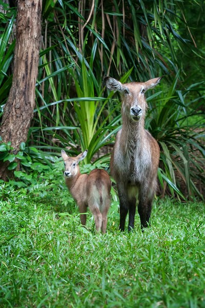 Waterbuck with baby in National park of Kenya