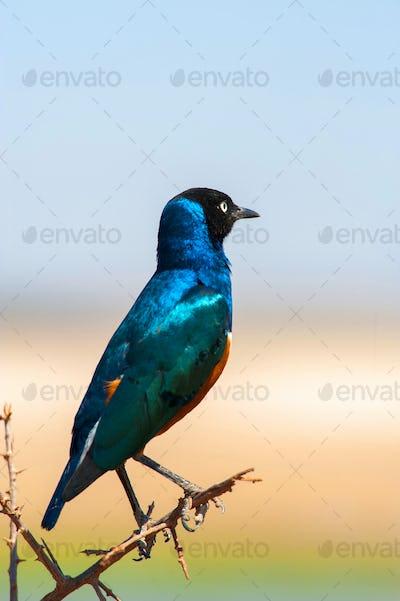 Colourful bird Superb
