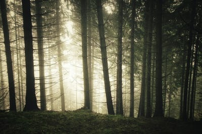 Pine tree forest with fog