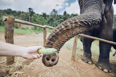 Feeding of elephant