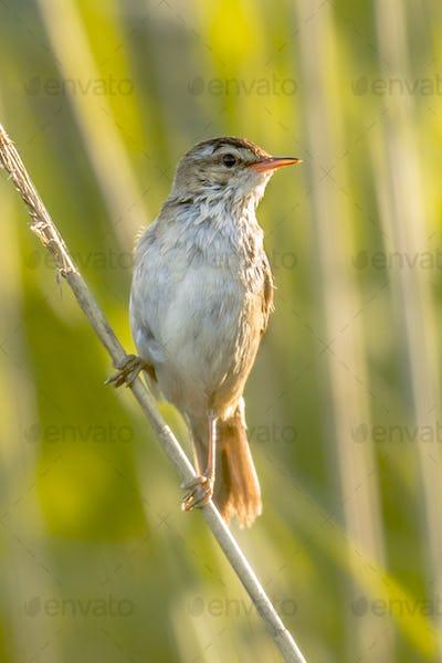 Sedge warbler in reed environment