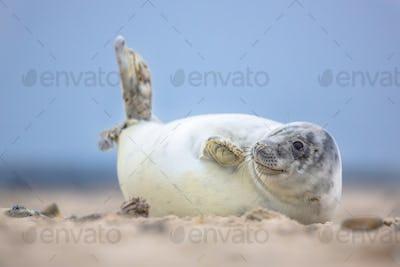 Cute puppy harbor seal waving fins