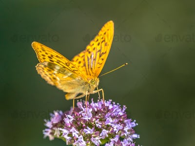 Silver washed fritillary on oregano flower