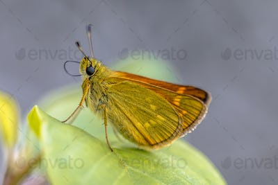 Large skipper resting on leaf