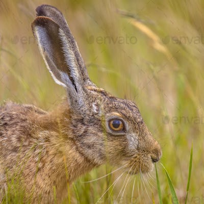 Portrait of wary European Hare in grass