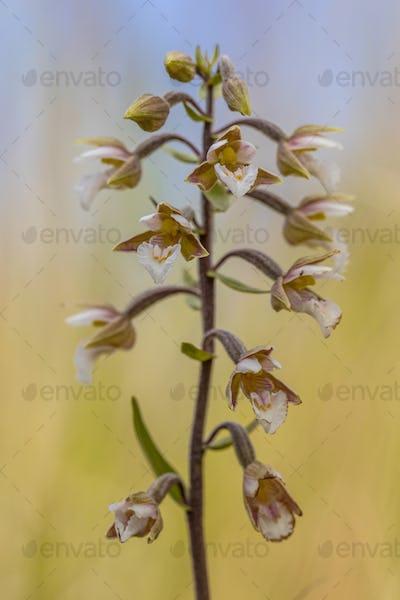 Marsh helleborine orchid flowers