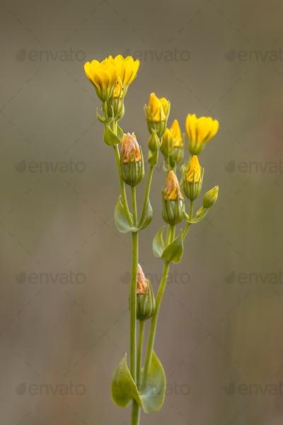Yellow wort flowers blurred background