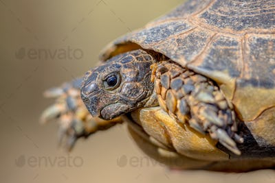 Marginated tortoise head shot