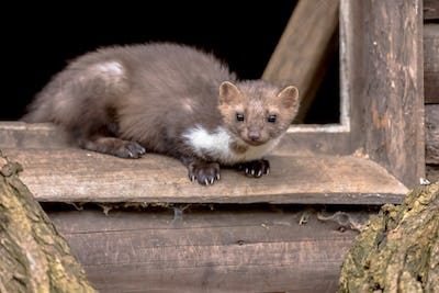Stone marten resting in window sill