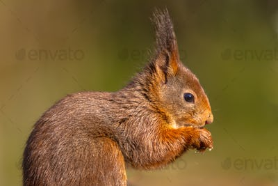 Sideview portrait of red squirrel on green background