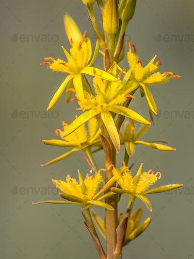 Close up detail of Bog Asphodel flower