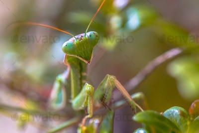 Headshot of European praying mantis