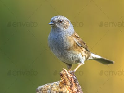 Dunnock perched on log
