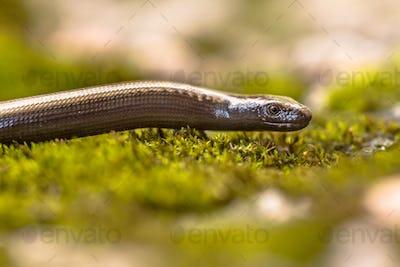 Peloponnese slowworm