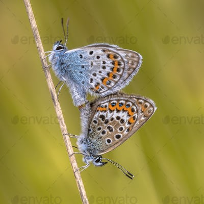 Pair of silver studded blue butterflies mating