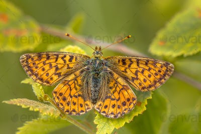 Cranberry Fritillary  warming wings in morning sun