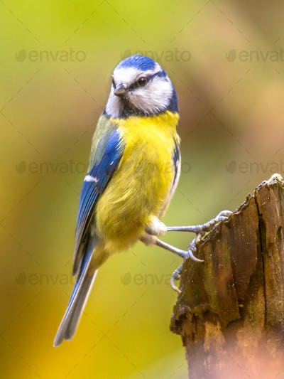 Eurasian blue tit clamped to pole