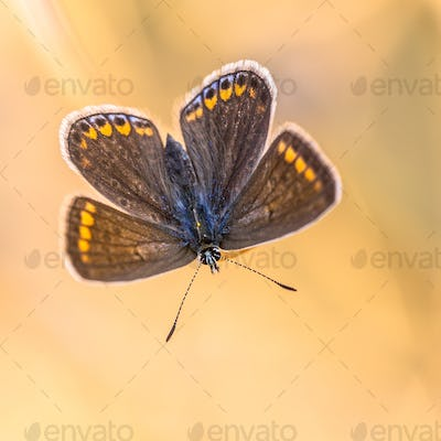 Butterfly brown argus on orange background