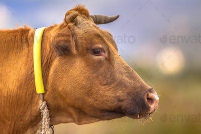 Brown cow headshot
