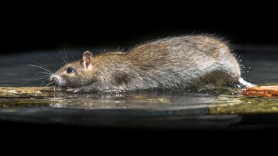 Wild brown rat moving in water