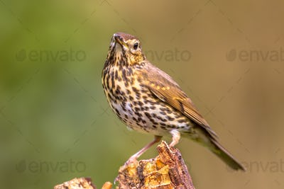 Song Thrush with green garden background