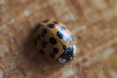 orange ladybeetle