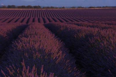 lavander field france