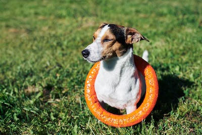 Adorable dog with toy on grass