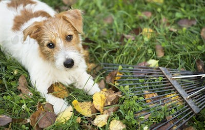 Autumn dog - funny pet puppy lying in the grass with leaves