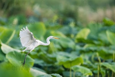 intermediate egret flapping its wings flying in lotus pond