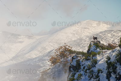 Chamois in the mountains of Ancares