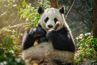 Giant panda bear in China