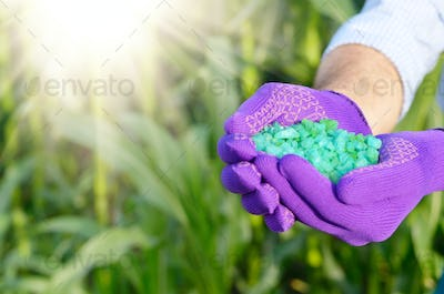 Farmer hold fertilizers in his hands with corn stems at backgrou