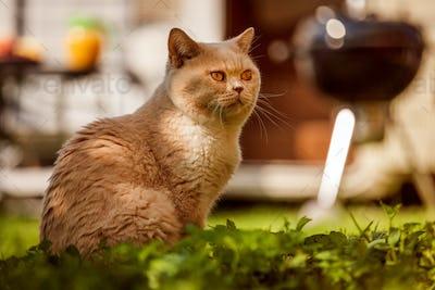 Cat British on green grass