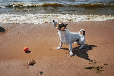 Sweet dog play with orange ball toy on the beach